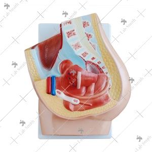 Urology, Genital & Pelvis Models