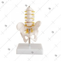 Half-Size Pelvis with 5pcs Lumbar Vertebrae