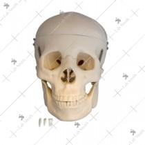 Life-Size Skull