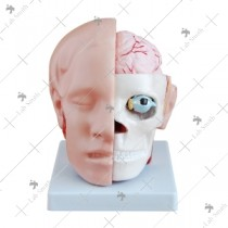 Head with Brain