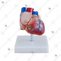 New Style Life-Size Heart Model