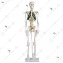 85cm Skeleton with Spinal Nerves