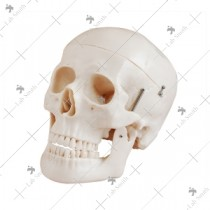 Deluxe Life-Size Skull Style D