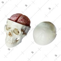 Skull Model with 8 Parts Brain