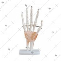 Life-Size Hand Joint with Ligaments