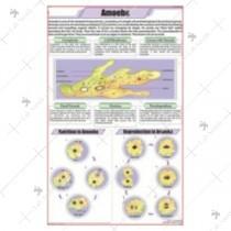 Amoeba Chart