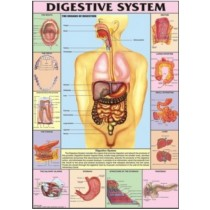 Digestive System Chart