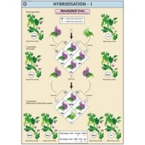 Hybridisation-1(Monohybrid Cross) Chart