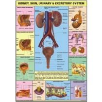 Kidney, Skin & Excretory Organs Chart