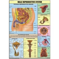 Reproductive (Male) chart